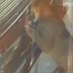 Kuriose Nachrichten: Puma zum Frühstück